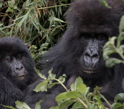Rwanda Gorilla Safaris Africa